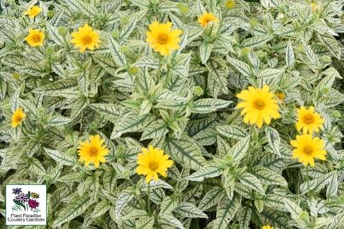 false sunflower planting instructions