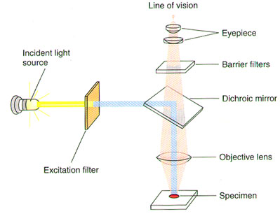 instructions to using a microscope